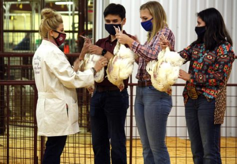 A Lampasas County Stock Show Judge inspects the chickens of  2020 graduate Robert LaMountain, senior Emma Jones and junior Abriana Flores.